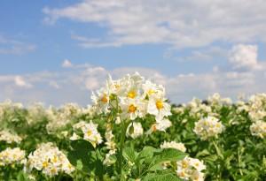 Een giftige plantenfamilie: de Solanaceae